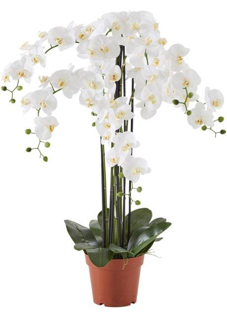 orchidee xxl
